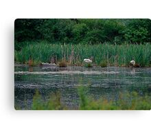 Clever Mister Swan Canvas Print