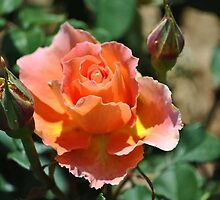 Peach and Yellow Ruffled Rose by Tamara Lindsey