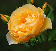 Yellow Rose by John Schneider