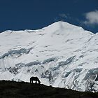 Lone Horse on the Annapurna Circuit by Maggie Woods