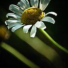 daisy by Phillip M. Burrow