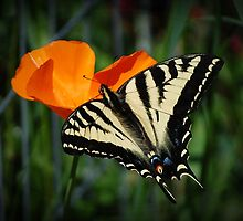 Butterfly And California Poppy by Jonice