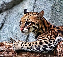 Ocelot by Judy Vincent