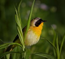 Common Yellow Throat Warbler 12 by John Absher