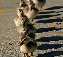 Duckings on Parade by Debbie  Roberts