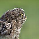 Great Grey Owl by JamesA1