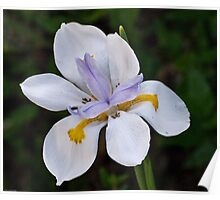 Iridaceae Dietes Grandiflora – Iris in Martin's garden 20100417 0678 Poster