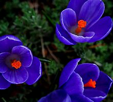 Spring Flowers by Annette Carr