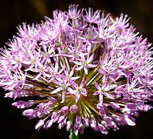 Purple Firework by Samantha Higgs