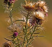 Spear Thistle (Cirsium vulgare) by Konstantinos Arvanitopoulos