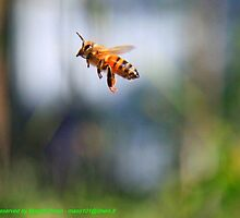 bee in flight...,Ape in Volo, Missano - (zocca modena italy) by primo masotti