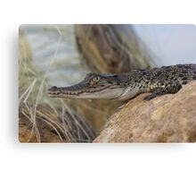 Saltwater Crocodile Canvas Print
