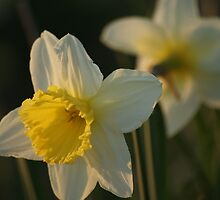 Daffodils by natassiabailey