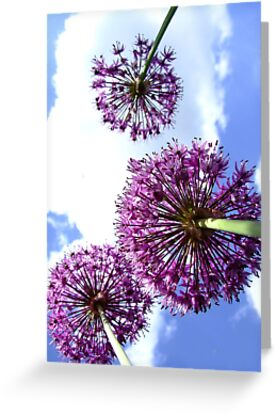 Alliums by Samantha Higgs
