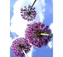 Alliums Photographic Print