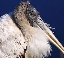 Young Wood Stork by coralhead