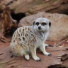 Meerkat by KeepsakesPhotography Michael Rowley