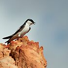 White-Winged Swallow by Robert Abraham