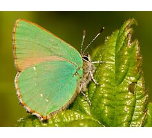 Green Hairstreak Photographic Print