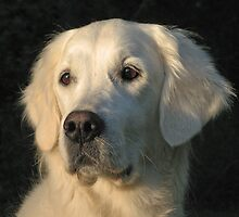 Portrait of my Golden Retriever Ditte by Trine
