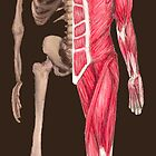Musculoskeletal System by angieschlauch
