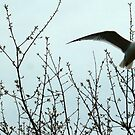 Gull Flying Along Maine Coast at Kennebunkport  by mooselandtours