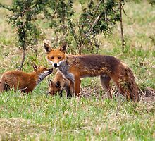Dog fox and cubs by Shaun Whiteman
