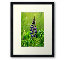 Lone Lupin Framed Print