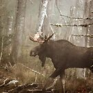 Maine Bull Moose During Mating Season... by mooselandtours