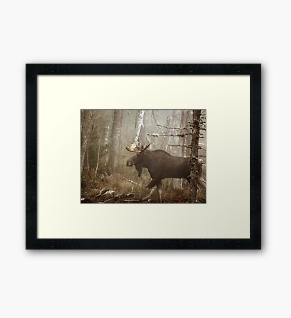 Maine Bull Moose During Mating Season... Framed Print