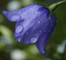 blue bell by Fran E.