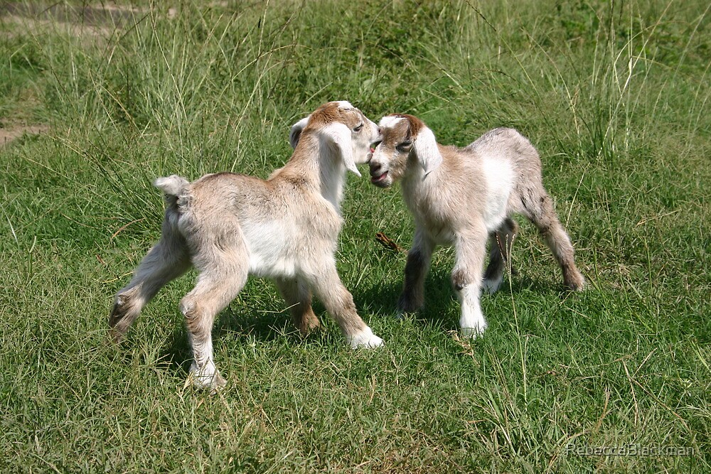 Baby Goat Play by RebeccaBlackman