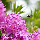 Rhododendron Visitor by Marloag