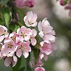 Koristeomenapuu (malus.spp) by Chrisseee