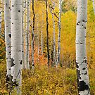 Aspens by Sam Scholes