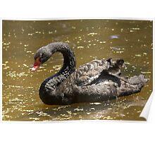 Black Australian Swan Poster