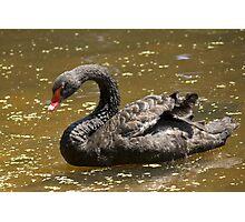 Black Australian Swan Photographic Print