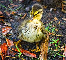 Baby Duck Sitting by stephaniellen