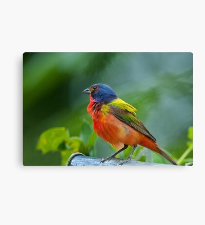 Mr. Painted Bunting makes his appearance Canvas Print