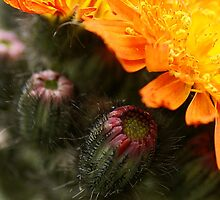 Orange Hawkweed by walstraasart