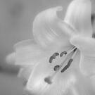 soft lily by fabio piretti