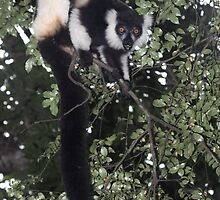 Treeing the lemur by Anthony Brewer
