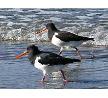 Oyster Catchers, Long Bay to Pohutukawa Bay Photographic Print