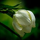 gardenia bud by Phillip M. Burrow