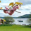 Cherry blossoms, Lake Windermere, Cumbria. by Roy  Massicks