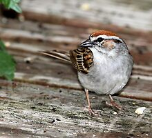 Chipping Sparrow by Erik Anderson
