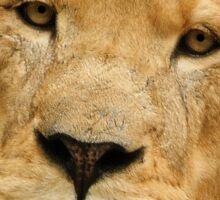 Lion speaks native tongue Sticker