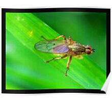 Brown Winged Fly Poster