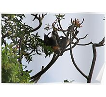 Aussie Flying Foxes Poster