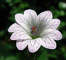 Geranium versicolor (Pencilled Cranesbill) by Caroline Anderson